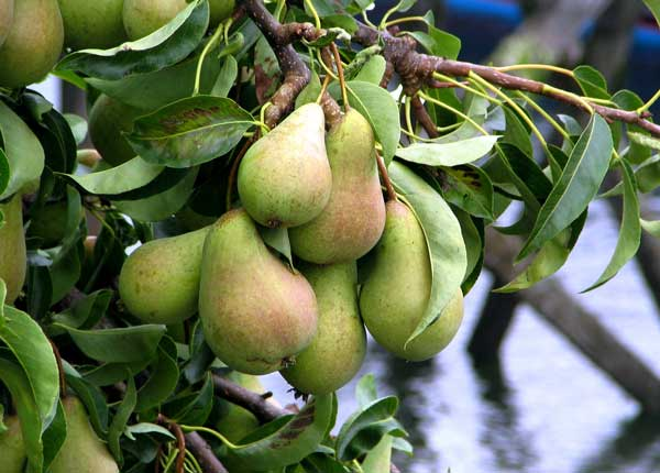 dwarf-pear-tree-planting