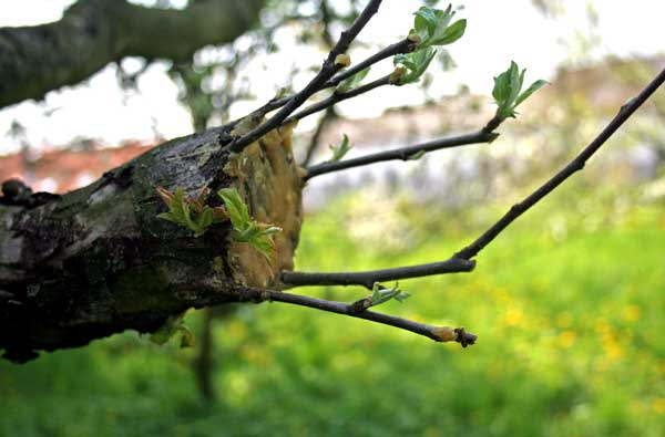 grafted-fruit-tree