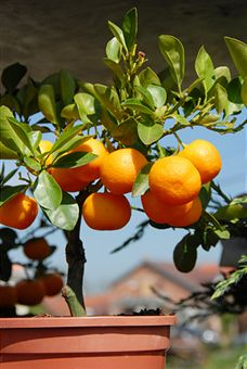 grow-fruit-trees-in-containers