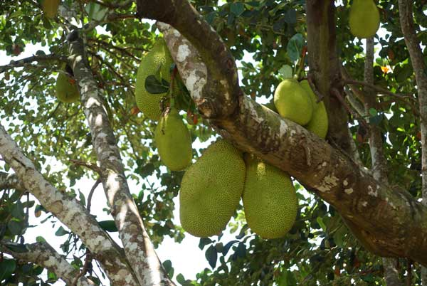 jack-fruit-tree