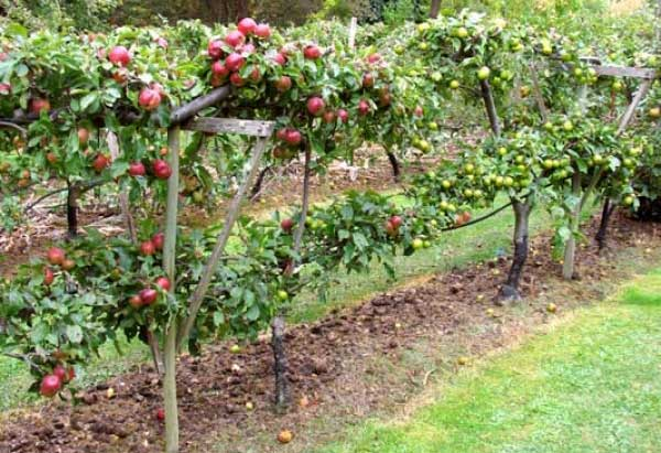 planting fruit trees - Trees For Home Garden