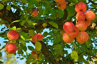 semi-dwarf-apple-tree