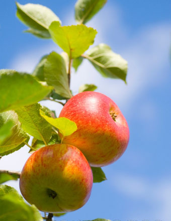 buy-fruit-trees-online