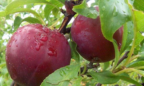dwarf-plum-trees