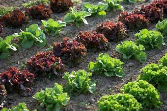 organic-gardening-pros-cons
