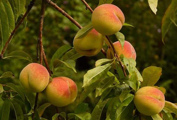 peach-tree
