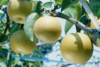 pear-tree-pruning