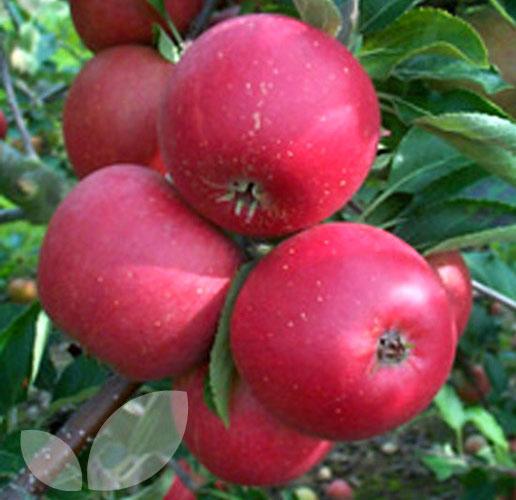self-pollinating-apple-tree